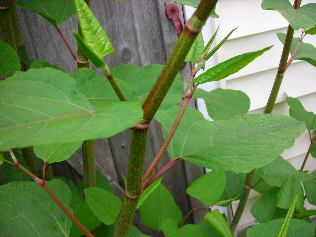 Japanese Knotweed Identification Speckled-stem-with-red-nodes