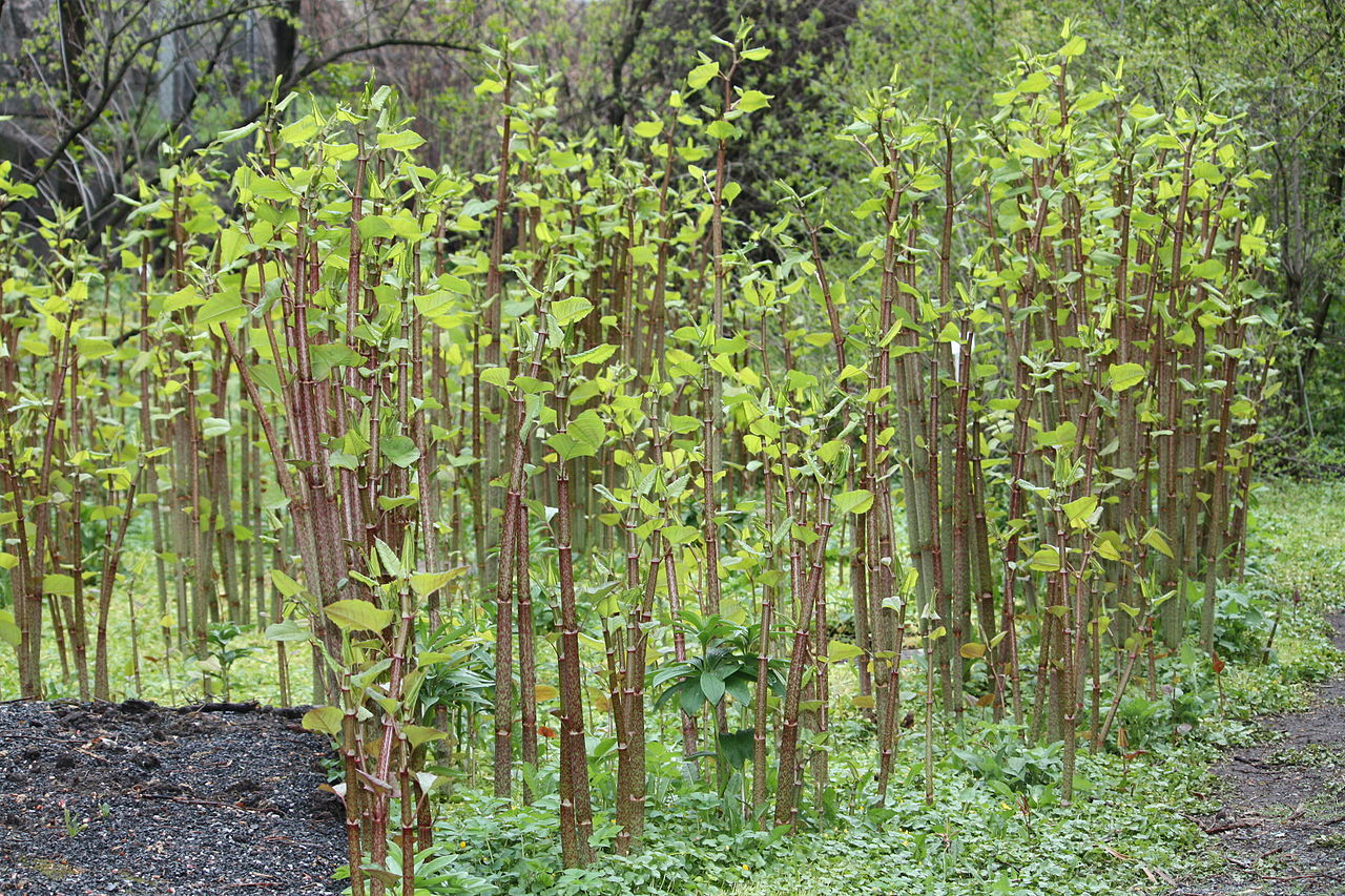 Japanese-Knotweed-Identification-Summer-growth