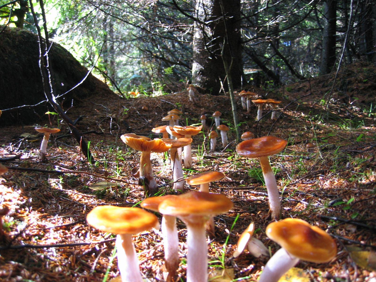 Mushrooms-covering-the-floor-of-a-coniferous-woodland