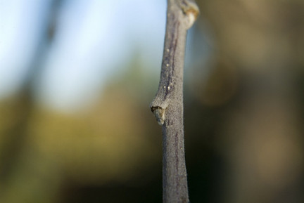 Fruit Tree pruning - Growth bud on an Apple tree