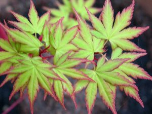 Acer palmatum leaves - acid green and crimson