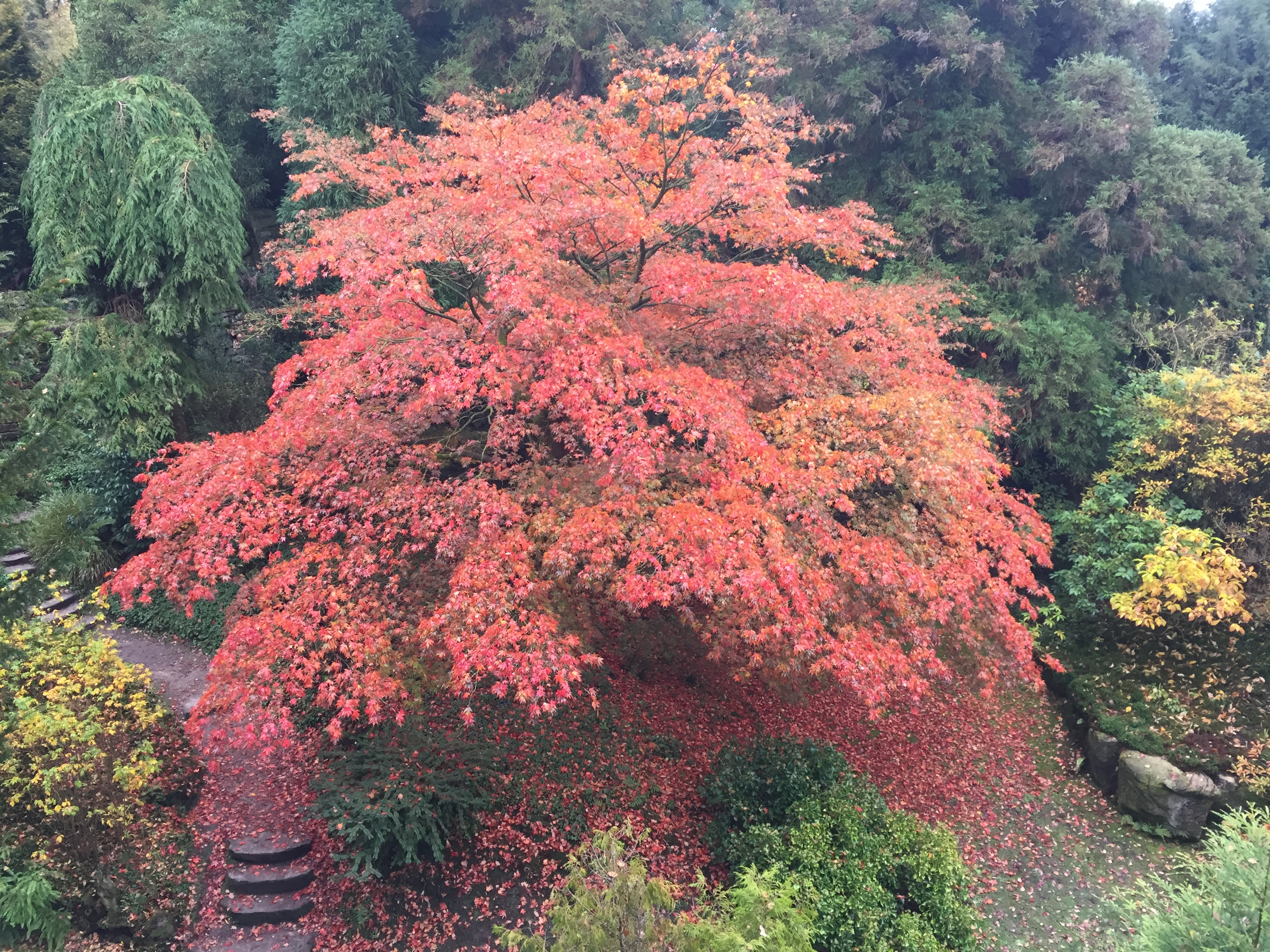 Japanese Acer in full autumn foliage