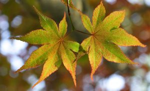 Acer palmatum leaf showing orange and green