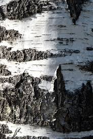 tree of the week silver birch rough bark