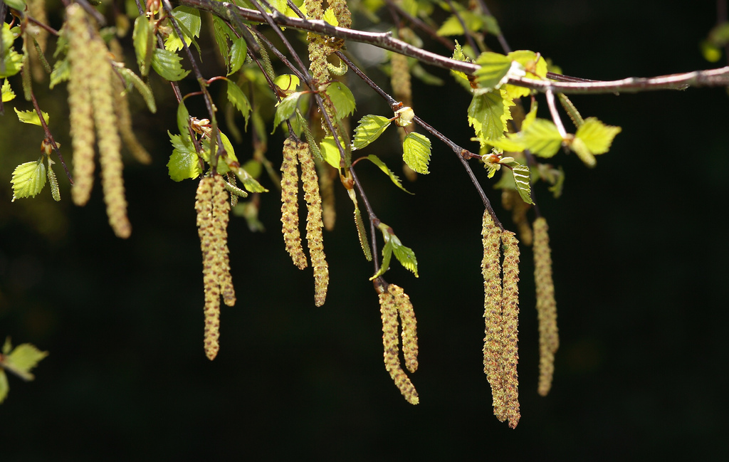 tree of the week Silver Birch young leaves and catkins