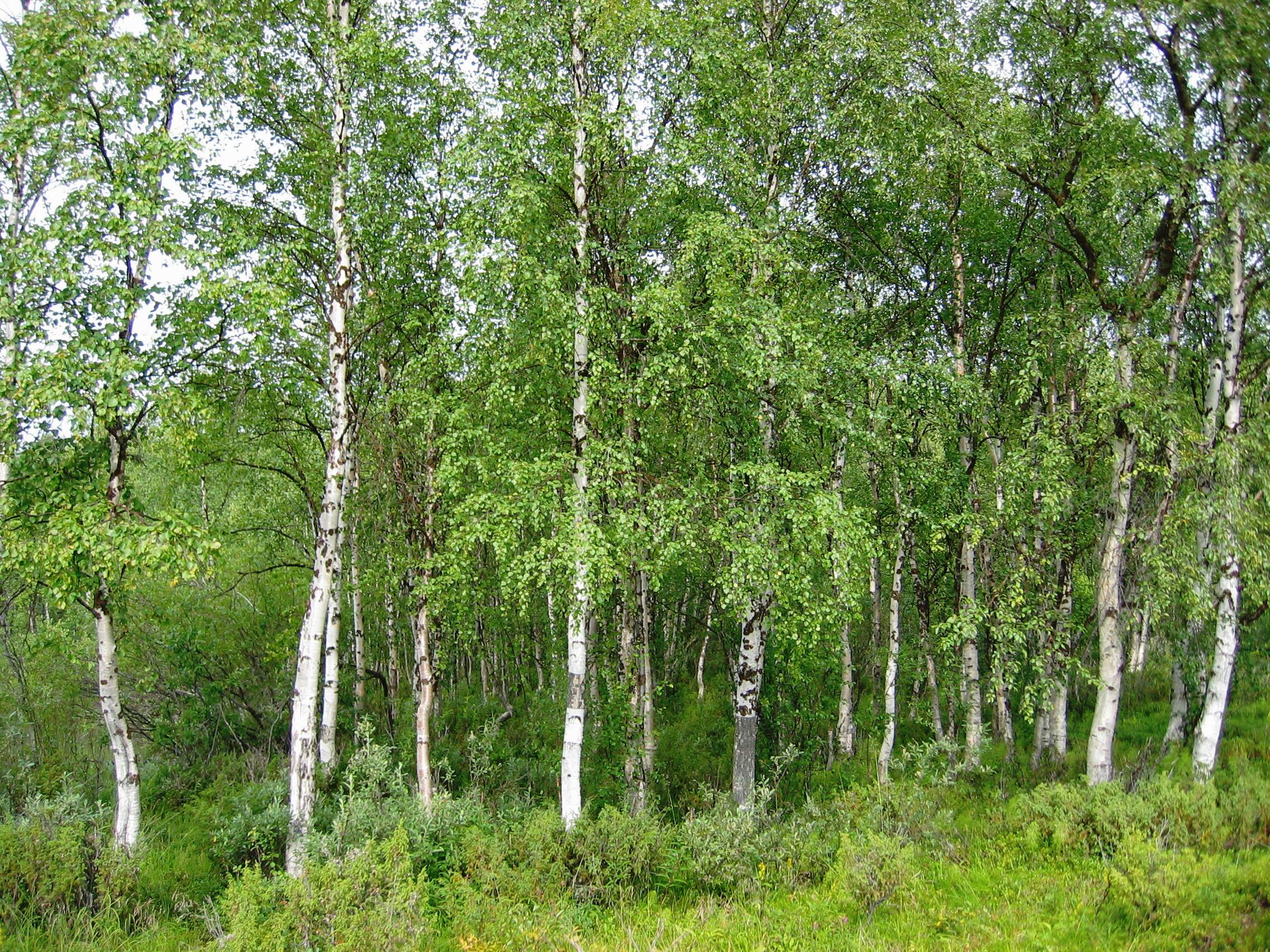 Tree of the week silver birch woodland