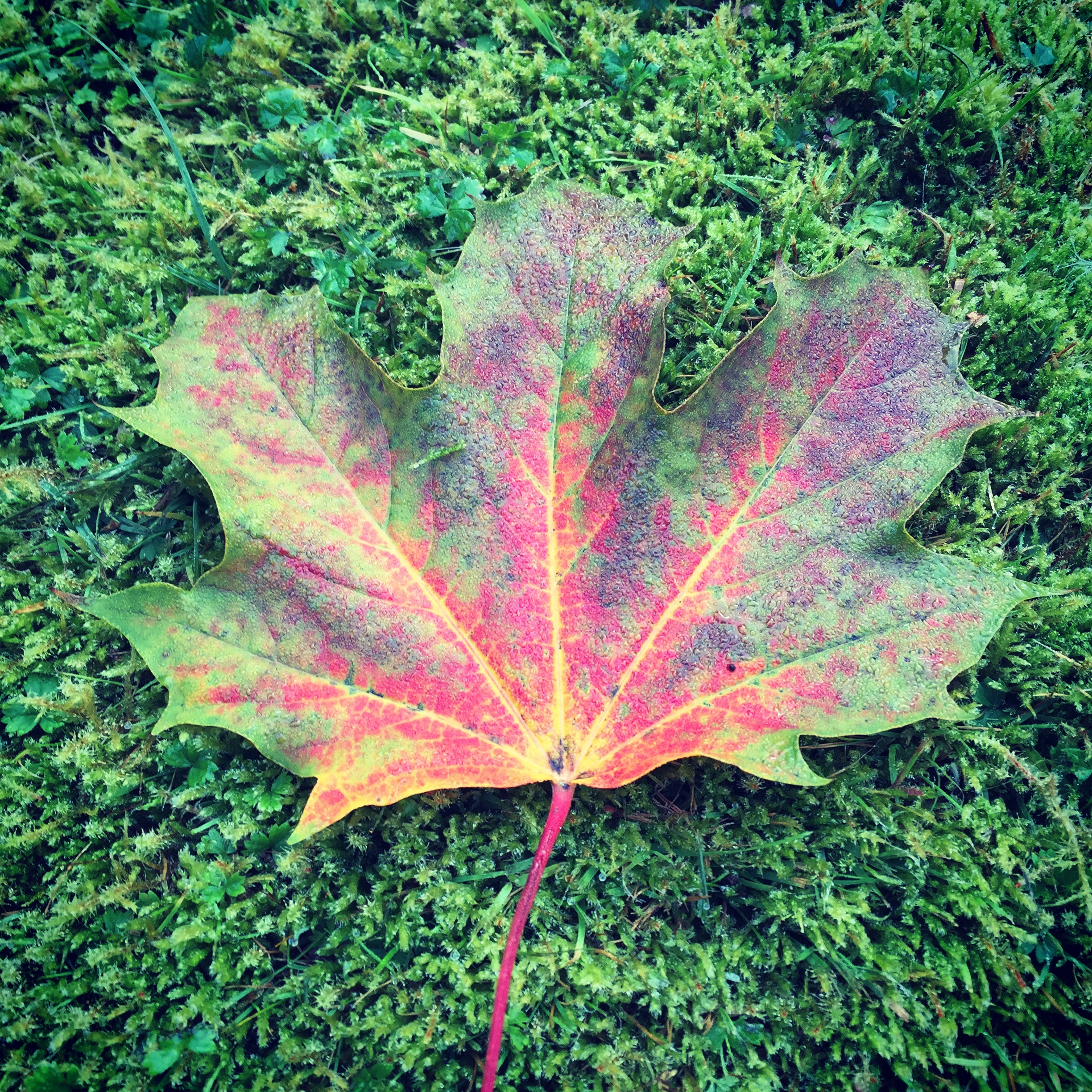 Tree of the Week Field Maple leaf