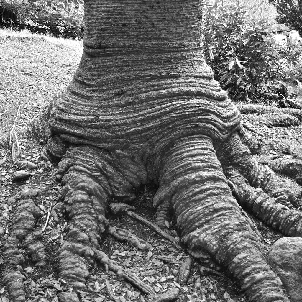 Tree of the Week Monkey Puzzle trunk