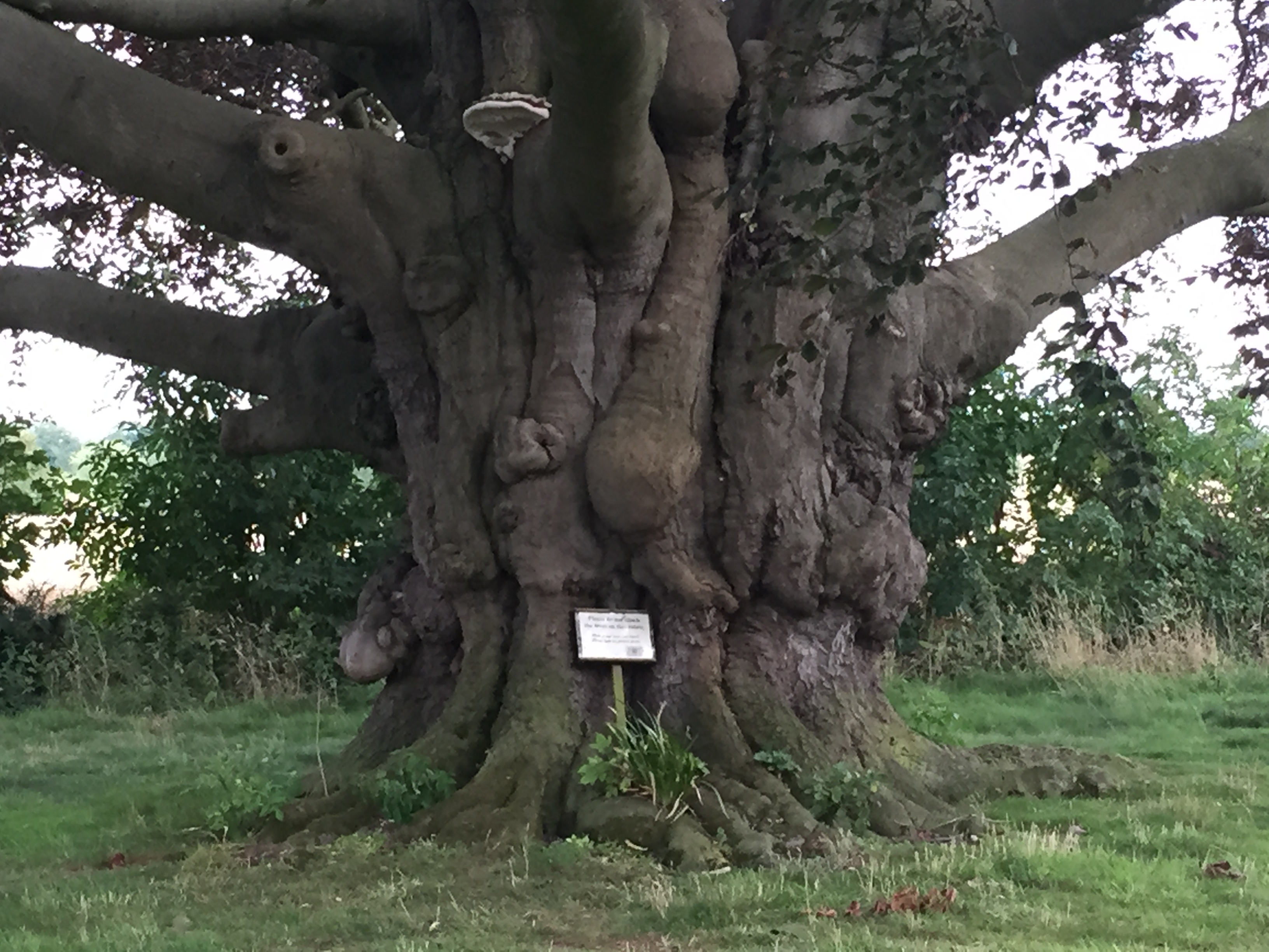Tree of the Week Beech tree trunk