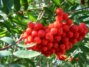 Tree of the Week Sorbus red berries