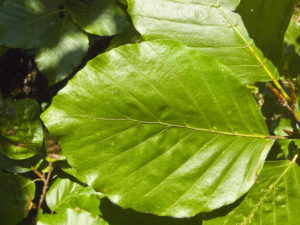 Common Beech leaf - green