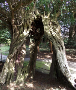 Ancient Yew stem from Astbury, Cheshire