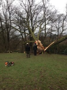 Tree Heritage staff assess a windblown tree