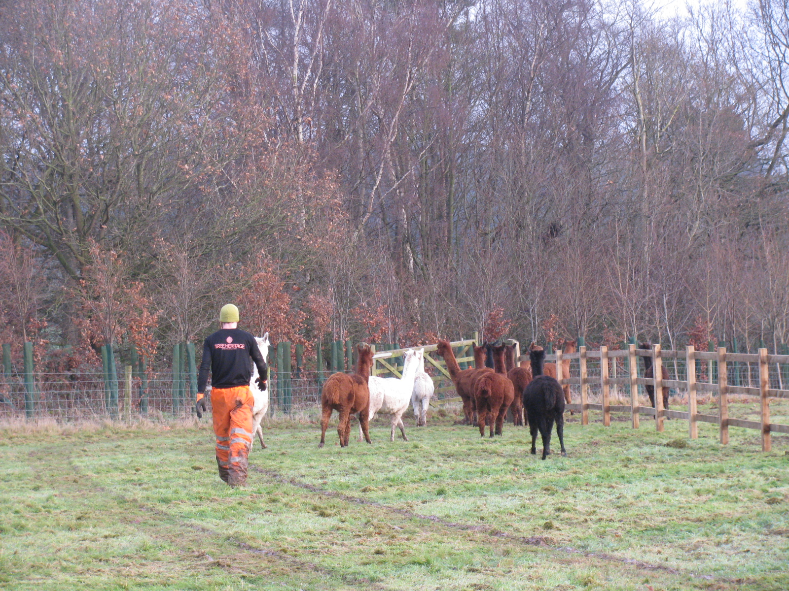 tree-surgeon-herds-llamas-out-of-tree-planting-area