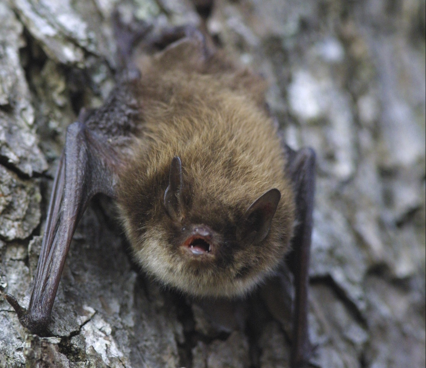 Bats-play-an-important-part-in-Britain's-ecology-and-need-to-be-considered-when-working-with-trees.