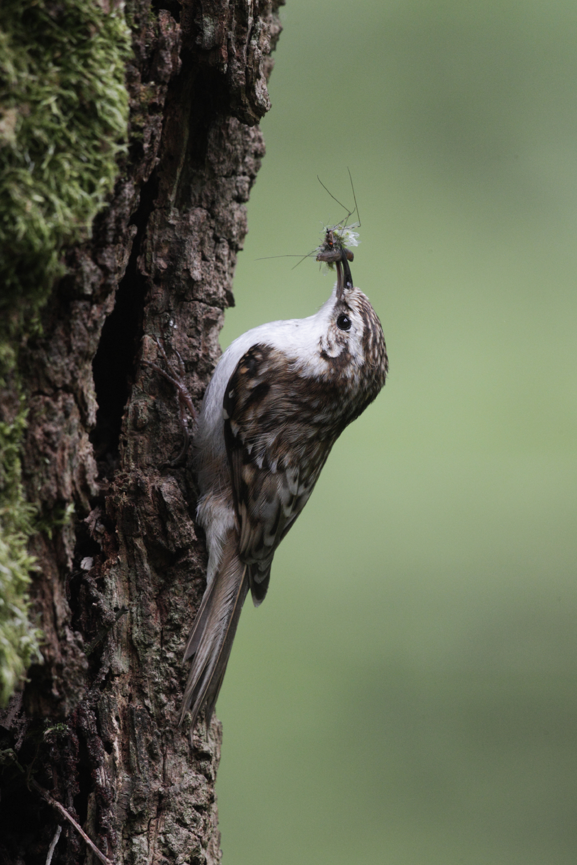 Treecreeper-taking-food-back-to-it's-nest. Birds-are-an-incredibly-important-part-of-Britain's-ecology.