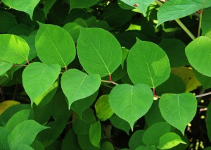 Japanese Knotweed leaf