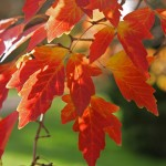 Acer-griseum-autumn-colour