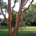 Acer-griseum-copper-stems