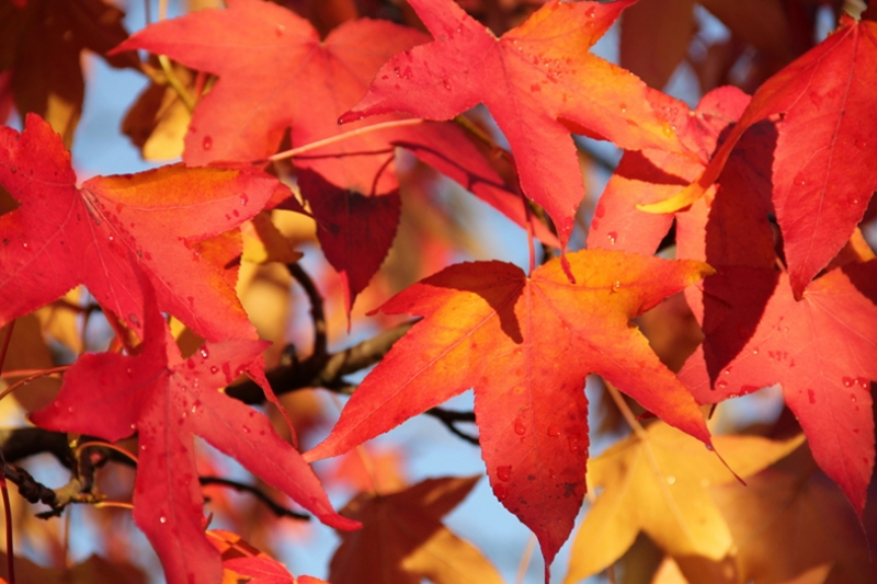 Liquidambar-styraciflua-leaves-showing-Autumn-colours