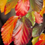 Parrotia-persica-Vanessa-autumn-colour