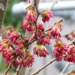Parrotia-persica-Vanessa-in-flower