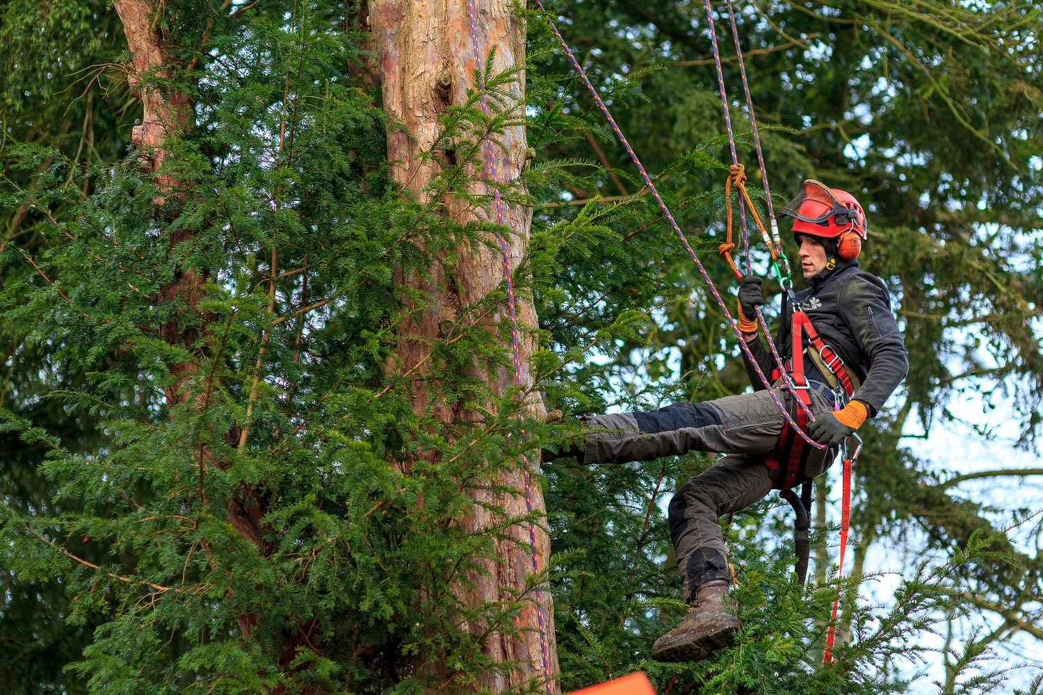 Qualified-tree-surgeon-climbing-a-tree