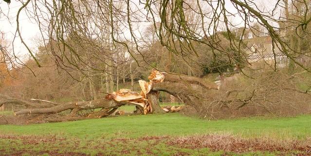 Tree-split-in-half-by-a-storm