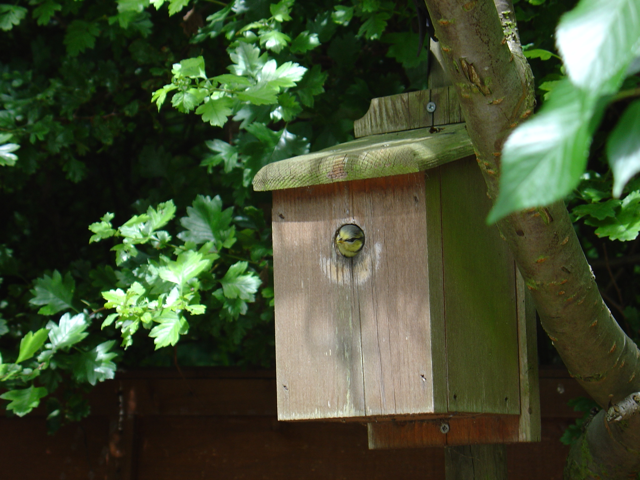 Young Bluetit peeping out of a nestbox