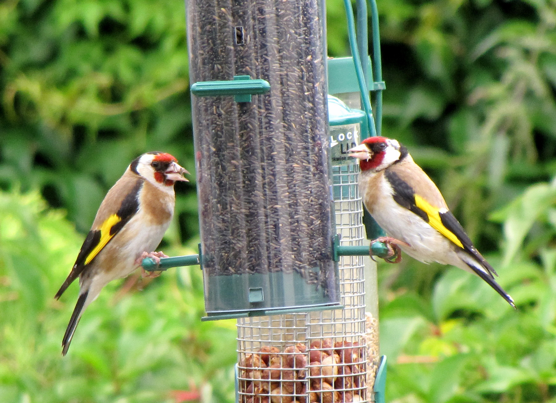 Goldfinches on a niger seed feeder