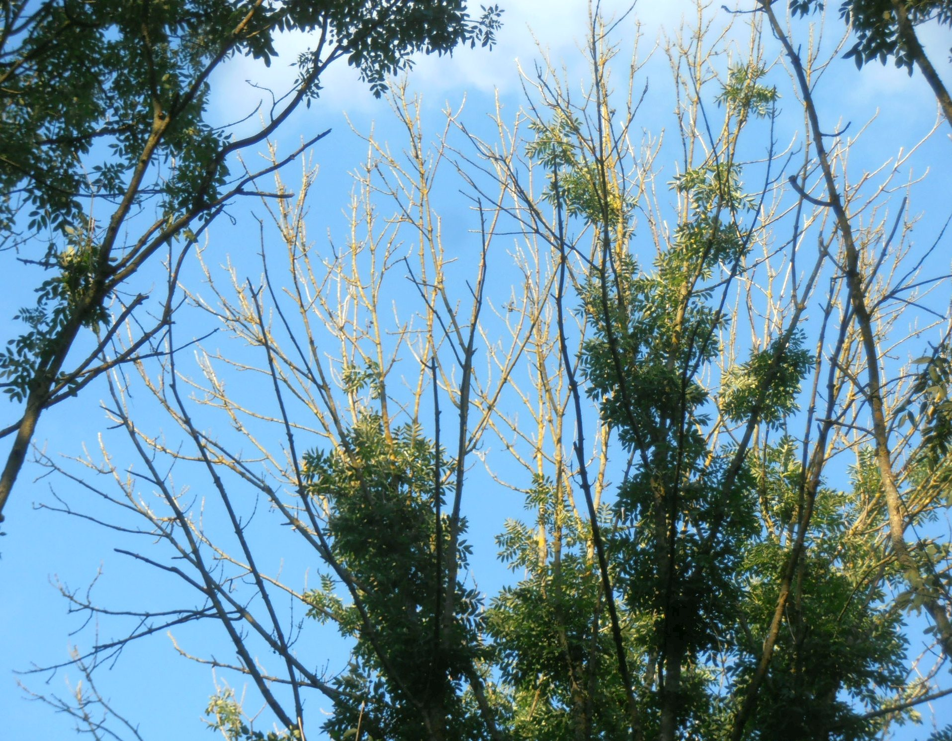 Ash Dieback Disease is a Biosecurity issue