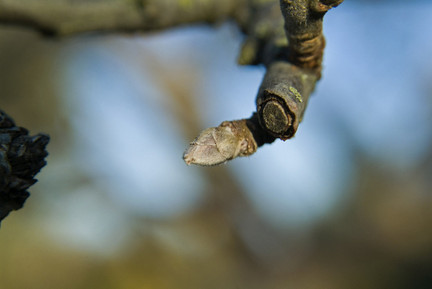 Fruit tree pruning - Fruit Bud on an Apple