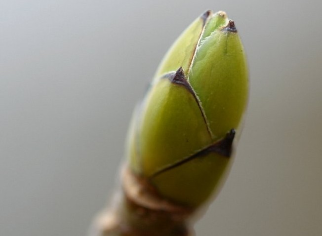 Winter twig of Acer pseudoplatanus