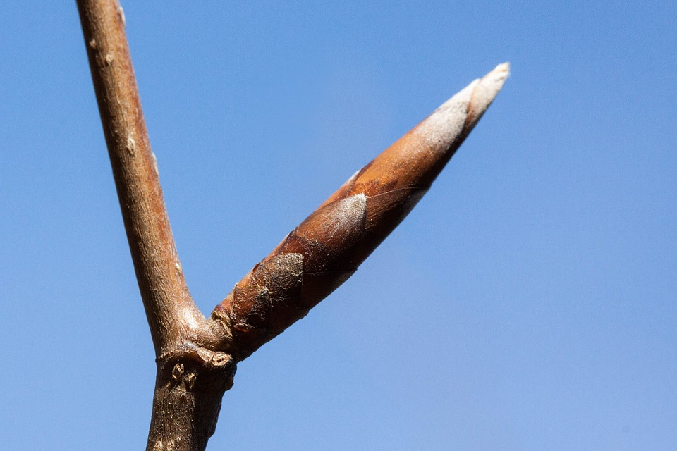 Winter twig of Fagus sylvatica