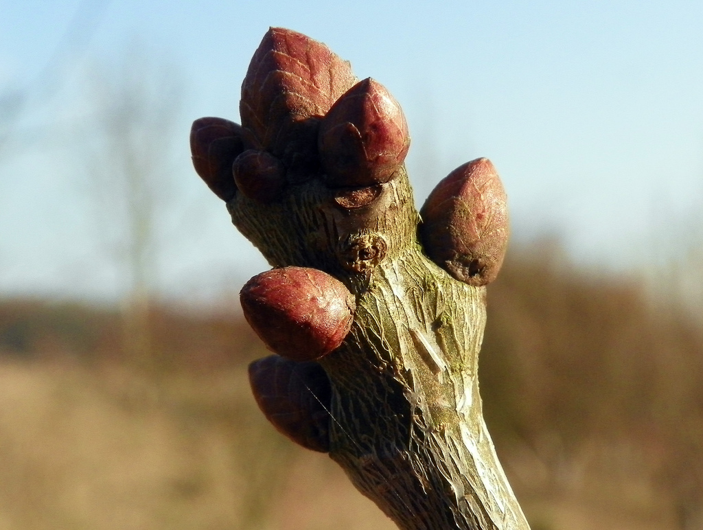 Winter twig of Quercus robur