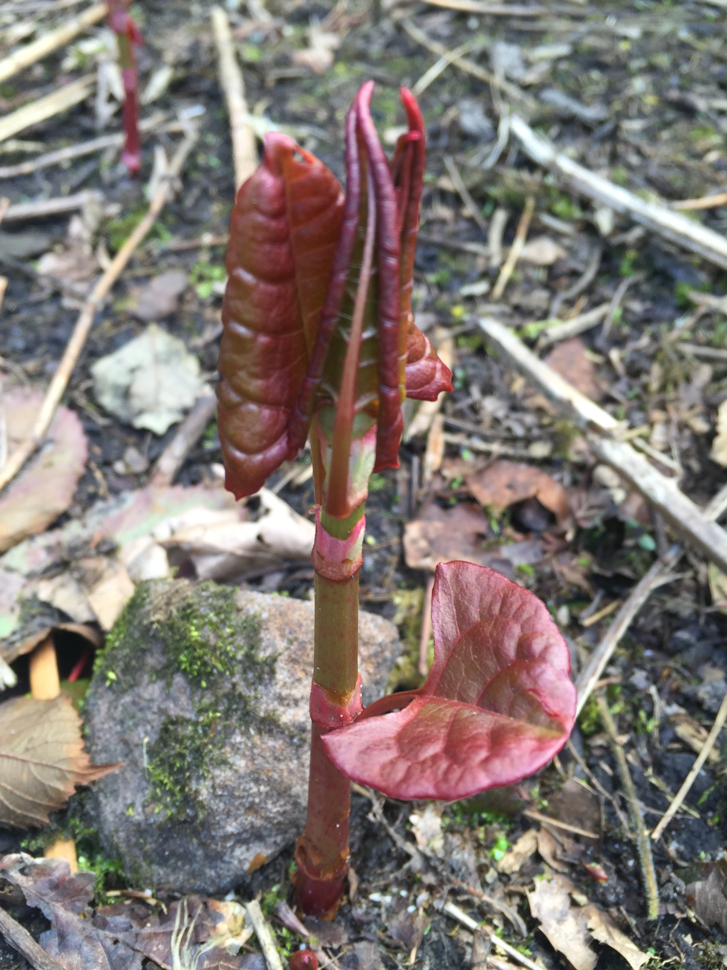 Japanese-Knotweed-new-stem-emerging