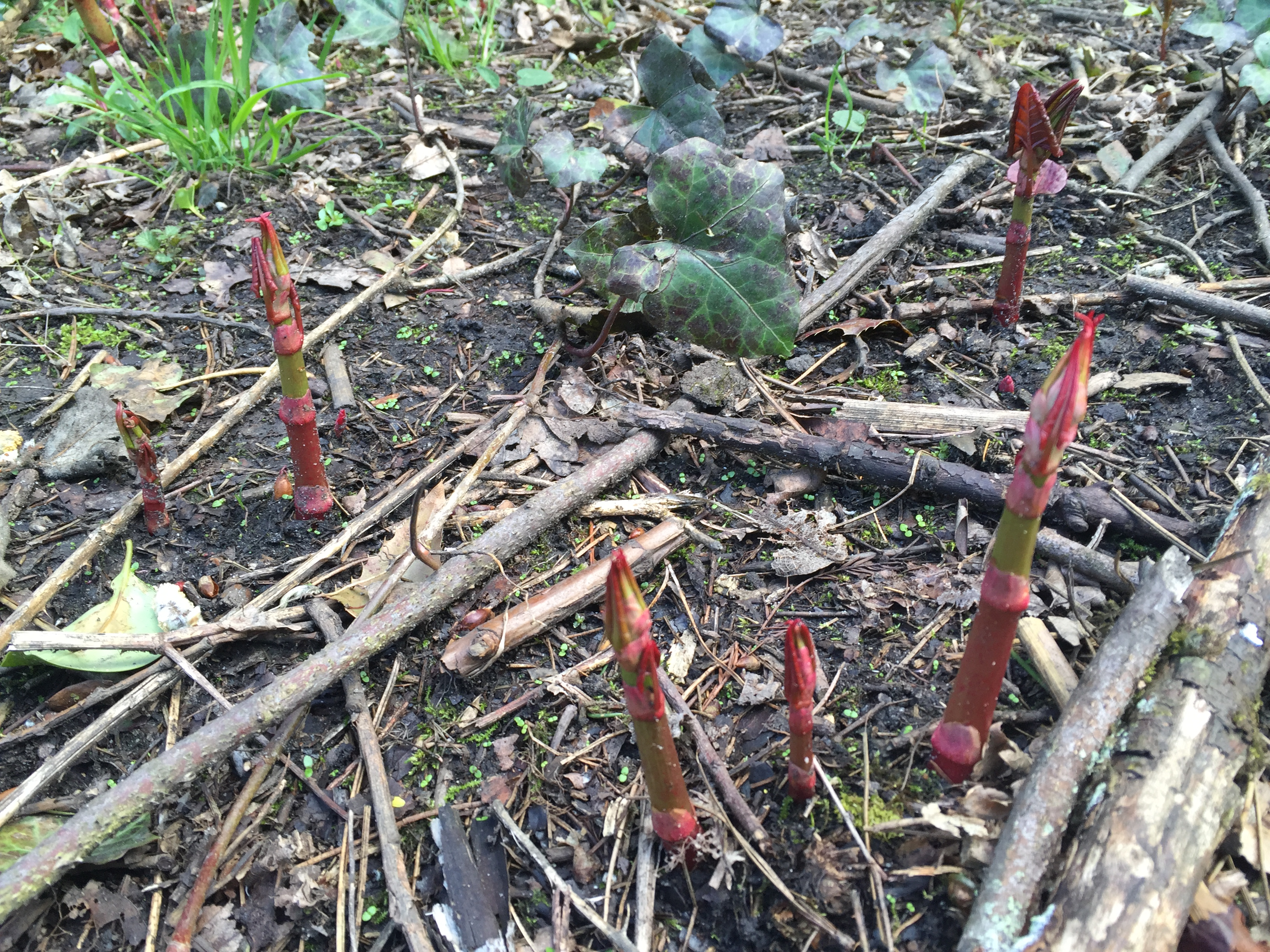 Japanese-knotweed-new-shoots