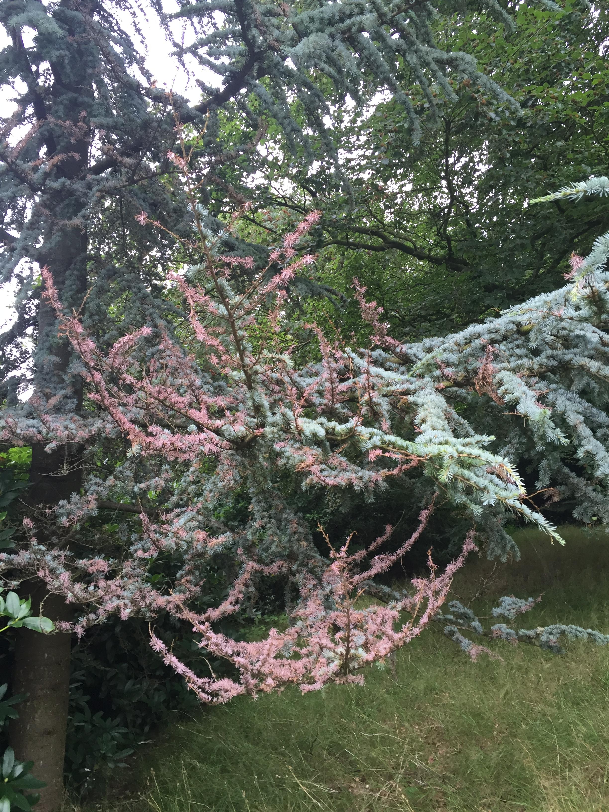 Blue Atlas Cedar with disease