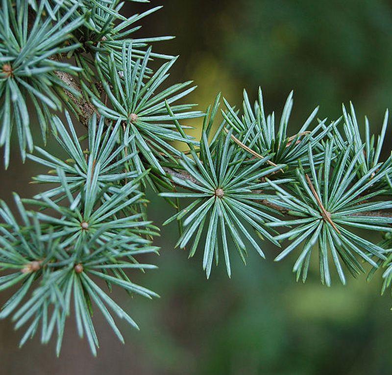 Cedrus atlantica glauca needles