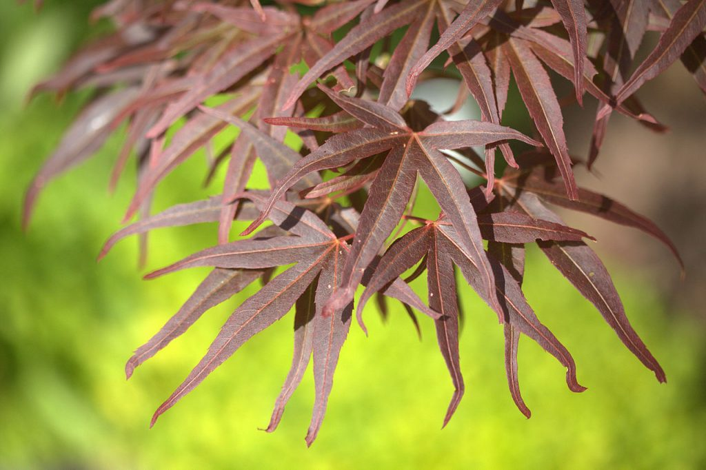 Acer palmatum var. dissectum with bronze leaves