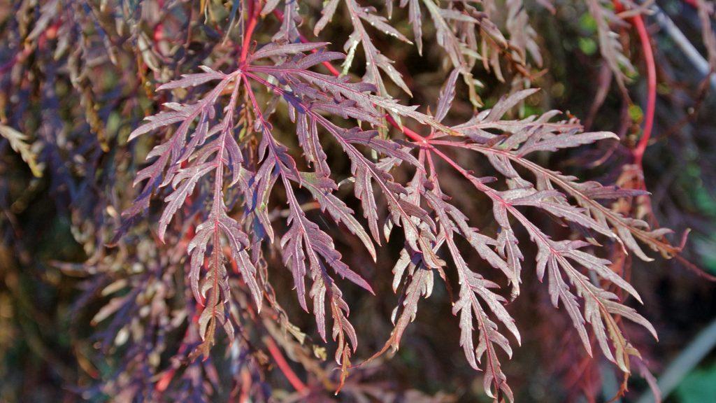 Acer palmatum var. dissectum purple leaves