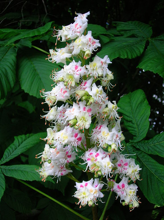 Tree of the week Horse Chestnut