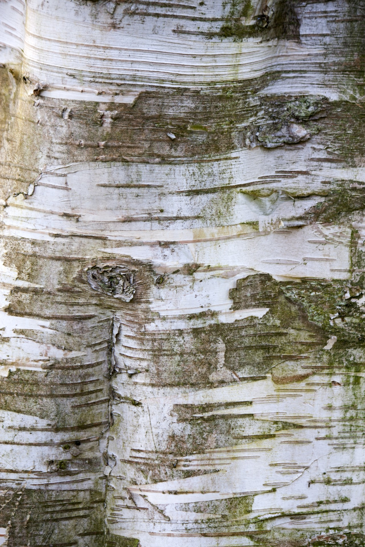 tree of the week silver birch bark