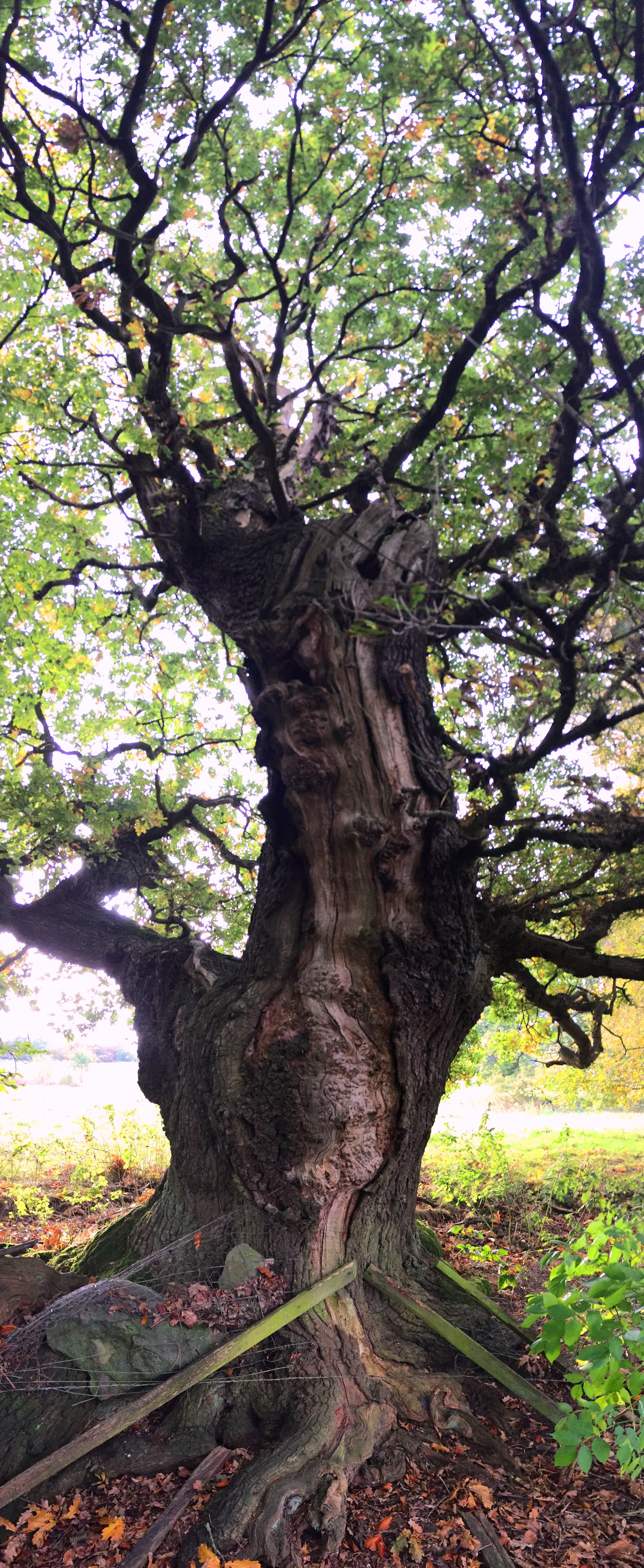 Tree of the week Oak-tree-with-lightning-scar