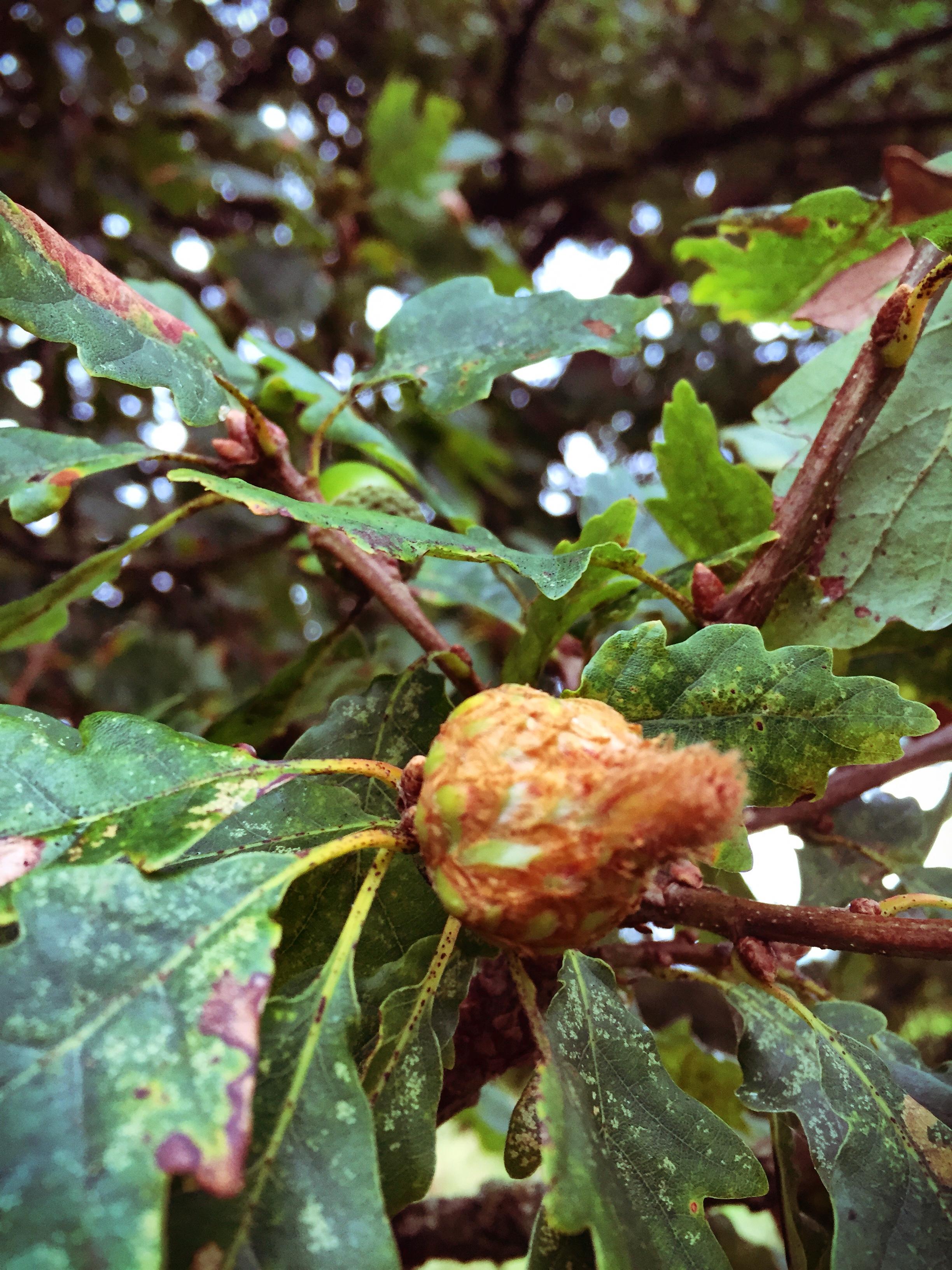 Tree of the week Oak-Artichoke-Gall
