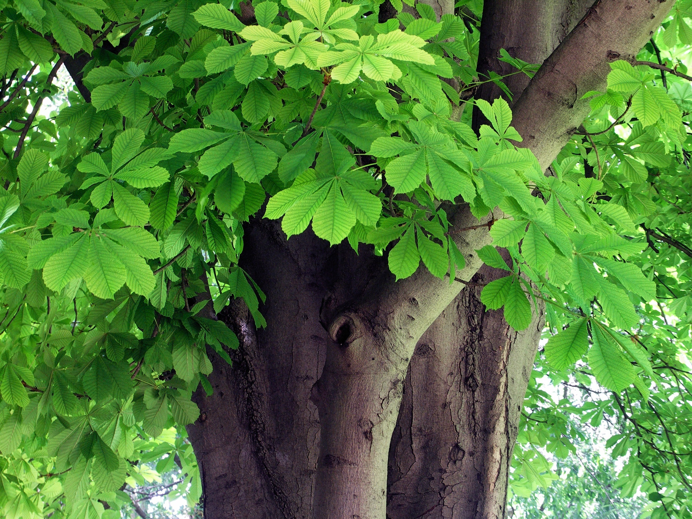 Tree_of_the_week_2_Horse_chestnut