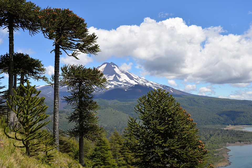Group of Monkey Puzzle trees in the wild