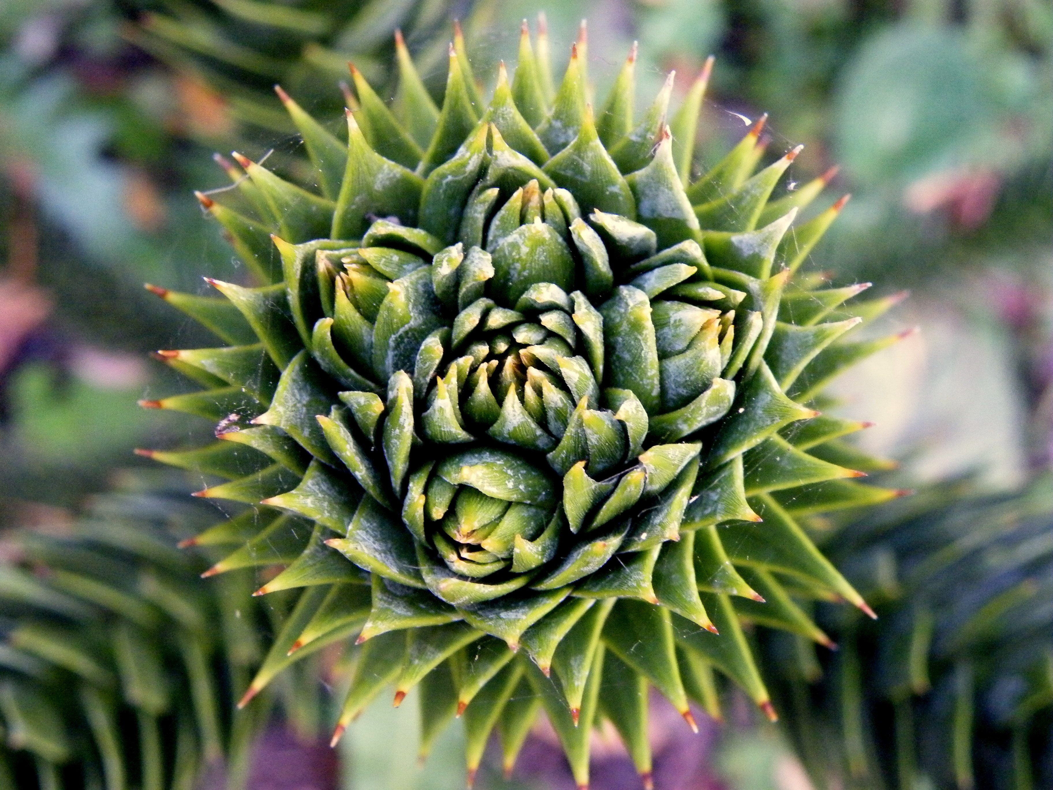 Growing tip of a Monkey Puzzle branch
