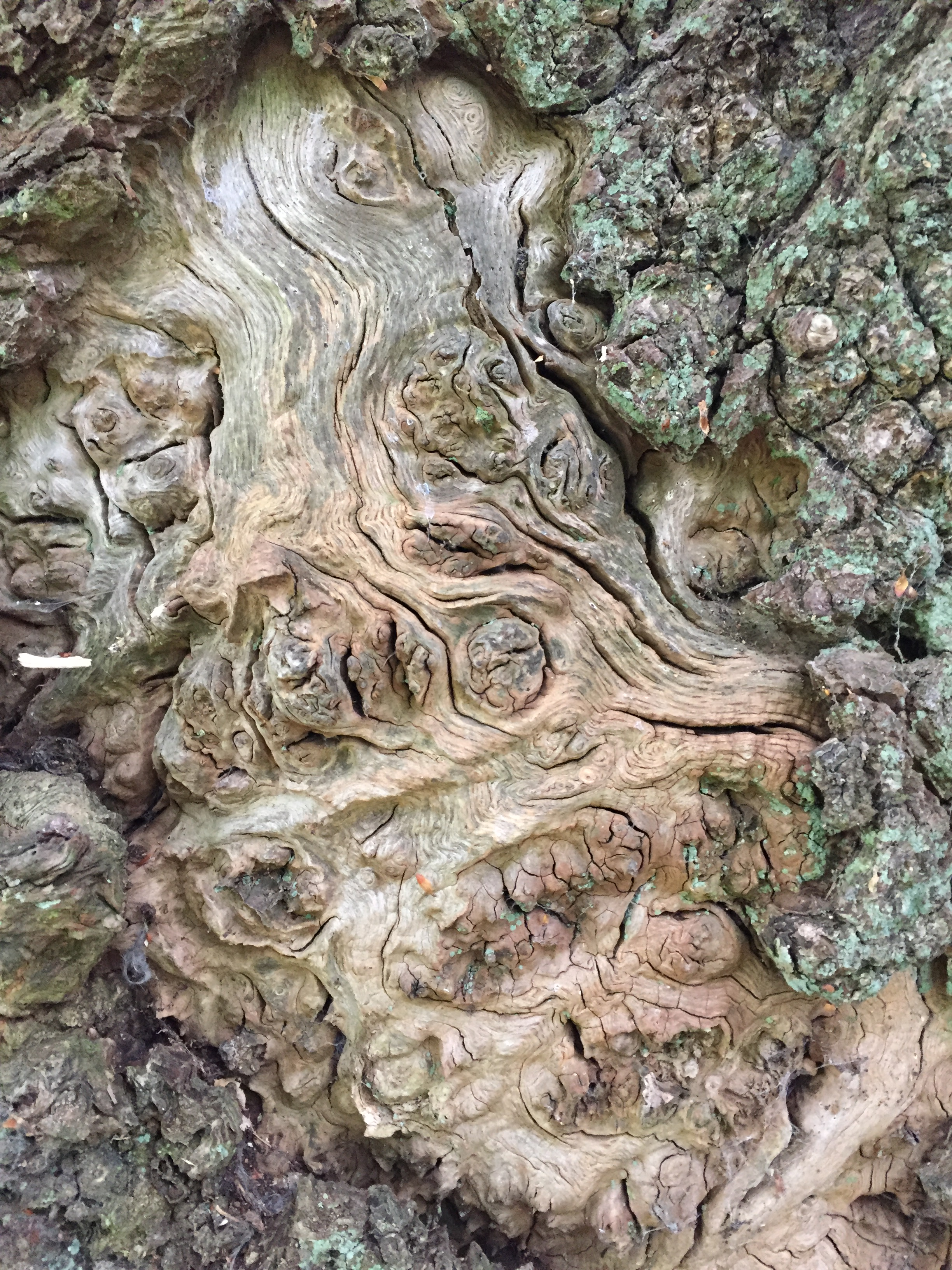 Tree of the Week Oak bark