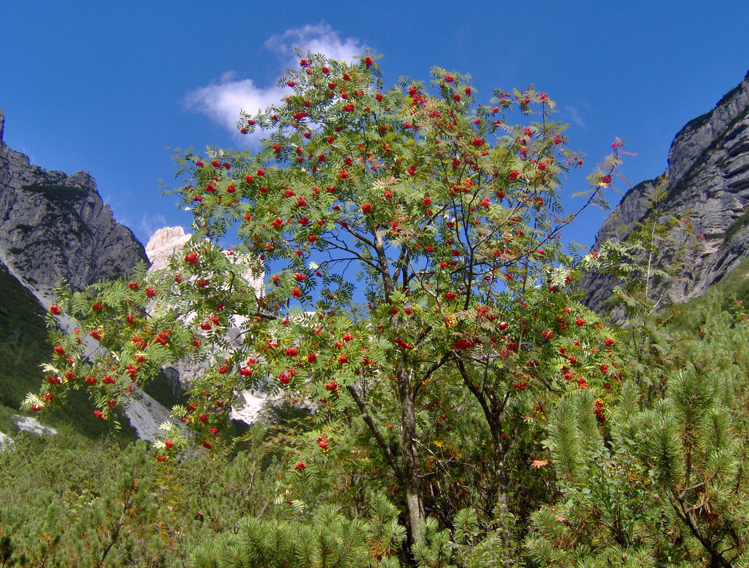 Tree of the week - Rowan or Mountain Ash